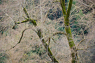 Barren trees in winter, Redwood Regional Park, East Bay Hills, California