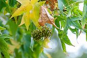 American sweetgum (Liquidambar styraciflua), also known as American storax at the Botanical gardens, Coimbra, Portugal