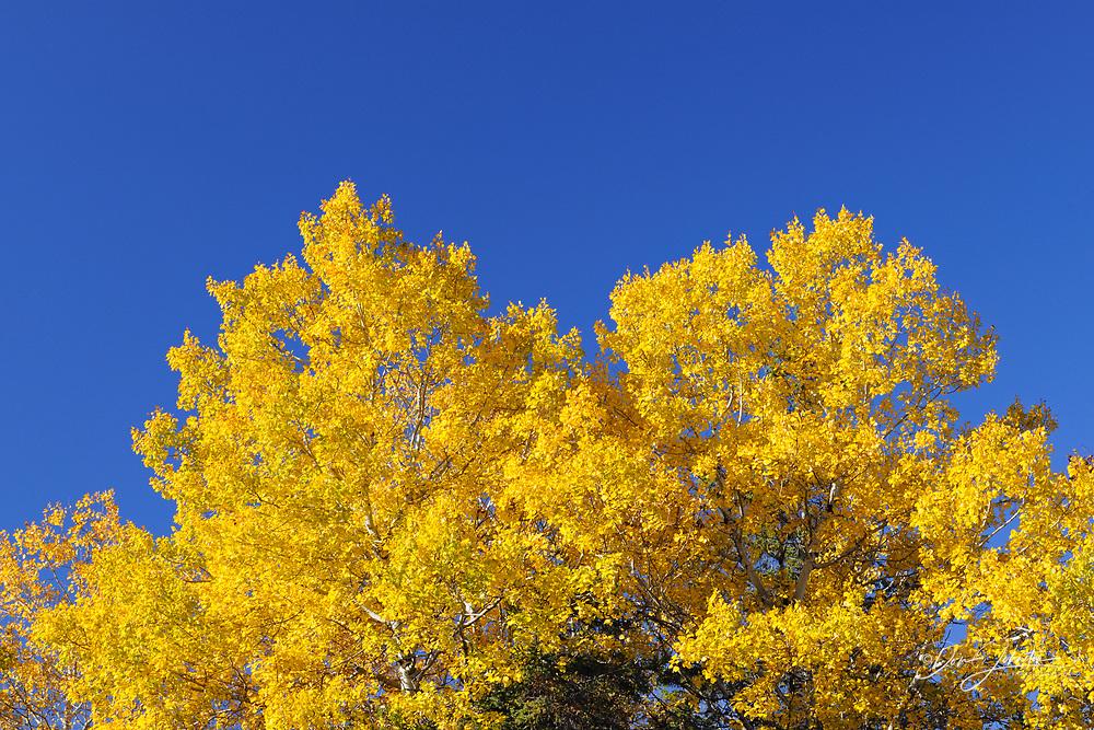 Trembling Aspen (Populus tremuloides) Autumn foliage, Greater Sudbury (Lively), Ontario, Canada