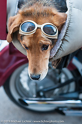 A Doggle eyed canine rides is hauled around in a fender mounted case during the annual Sturgis Black Hills Motorcycle Rally. SD, USA. August 9, 2014.  Photography ©2014 Michael Lichter.