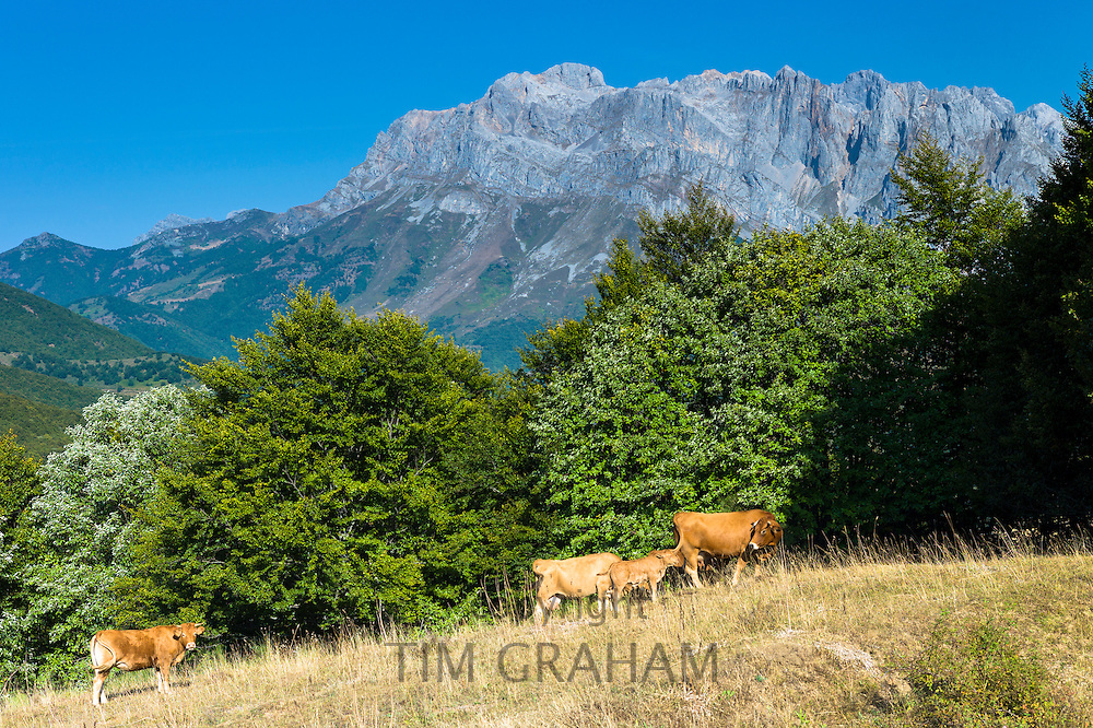 Herd of cattle in meadow in the Picos de Europa mountains - Peaks of Europe - in Castilla y Leon, Northern Spain