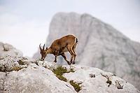 Ibex (Capra ibex) feeding<br /> Julian Alps<br /> Triglav National Park, Slovenia<br /> July 2009