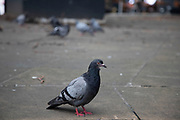 Urban pigeons sitting on the street as people pass in the Central London, United Kingdom. Feral pigeons, also called city doves, city pigeons, or street pigeons, are pigeons that are derived from the domestic pigeons that have returned to the wild.