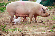 Outdoor free range pig farm, Hollesley, Suffolk, England