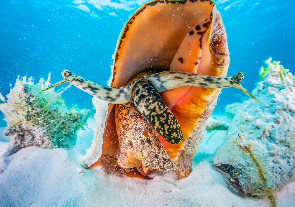 A small aggregation of queen conch (Lobatus gigas) off Cat Island, Bahamas