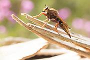 Hornet robberfly (Asilus crabroniformis) on heathland. Surrey, UK.