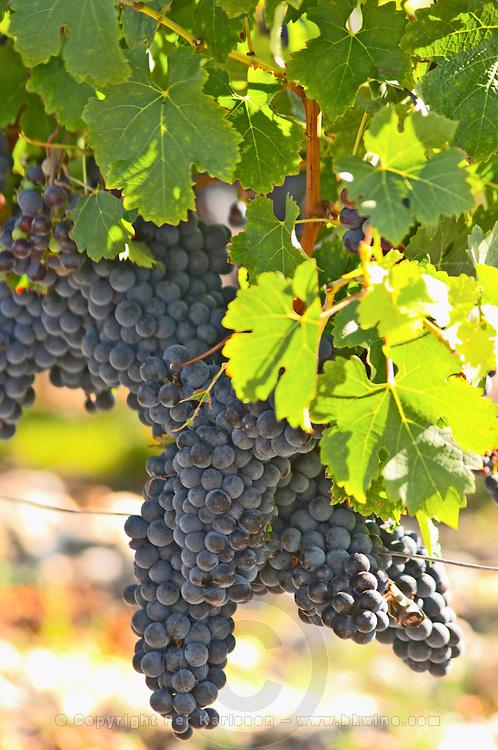 A cabernet Sauvignon vine, circa 35 years old with ripe grape bunches  - Chateau Belgrave, Haut-Medoc, Grand Crus Classe 1855