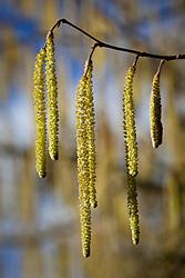 Common hazel catkins. Corylus avellana
