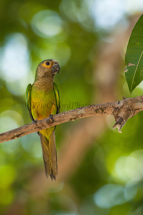 Brown-throated Parakeet (Aratinga pertinax)<br /> Orinoco River, north of Puerto Ayacucho. Apure Province, VENEZUELA/COLOMBIA border. South America.<br /> RANGE: w Panama, n Colombia, Guianas, n Amazonian Brazil, Aruba, Curacao, Bonaire & Orinoco in Venezuela.<br /> It is found in wooded areas, cactus thickets and corn fields where it feeds on fruit and seeds. It is the most common parakeet in the lowlands.