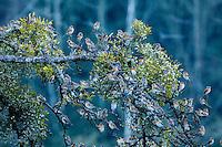 Bramblings (Fringilla montifringilla) fenyőpinty<br /> Lödersdorf, Austria 07.02.2009