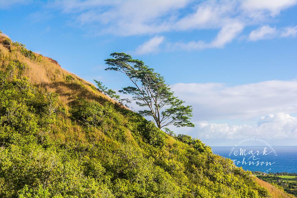 Lone tree growing on a ridge, Kalalea Mountains, Anahola, Kauai, Hawaii, USA