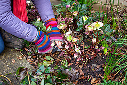 Cutting off hellebore leaves to reveal the flowers