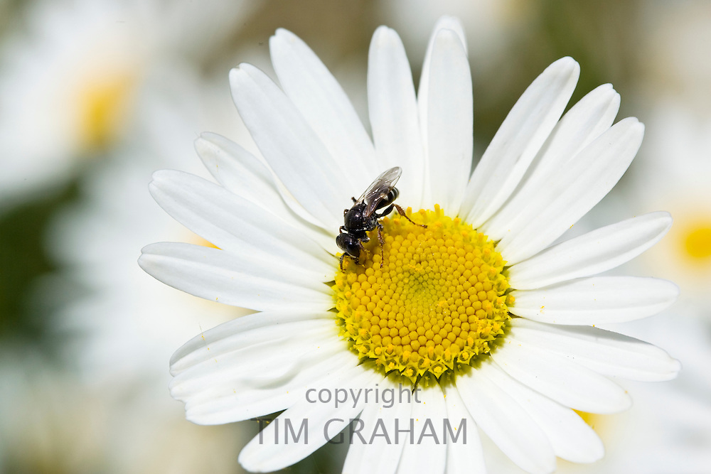 Hover fly on daisy, Oxfordshire, England, United Kingdom