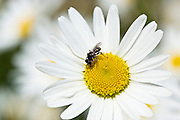 Hover fly on daisy, Oxfordshire, England, United Kingdom