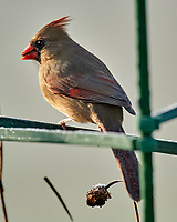 Northern Cardinal (Cardinalis cardinalis). Image taken with a Nikon D850 camera and 600 mm f/4 VR lens