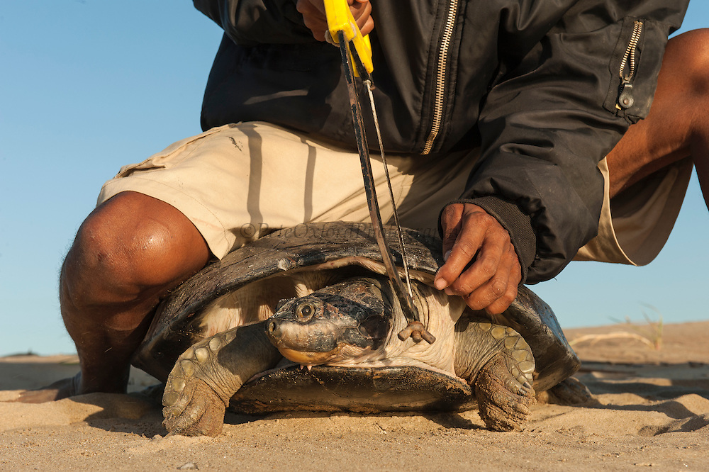 Giant River Turtle (Podocnemis expansa) having carapace marked for future ID by Franklin Tovar<br /> CAPTIVE-REARING PROGRAM FOR REINTRODUCTION TO THE WILD<br /> CITES II      IUCN ENDANGERED (EN)<br /> Orinoco River, 110 Km north of Puerto Ayacucho. Apure Province, VENEZUELA. South America. <br /> L +- 90cm, Wgt 30-45kg. Largest fresh water river turtle in S. America. Eggs round & 42mm. 90-100 per clutch. 6-8 wks incubation. Females come ashore to sun themselves for several days before laying to boost egg development and lay when the river is at its lowest. Herbacious and live in white or black water rivers moving into flooded forests during the wet season to feed on fallen seeds and fruit.<br /> RANGE: Amazonia, Llanos & Orinoco of Colombia, Venezuela, Brazil, Guianas, Ecuador, Peru & Bolivia.<br /> Project from Base Camp of the Protected area of the Giant River Turtle (& Podocnemis unifilis). (Refugio de Fauna Silvestre, Zona Protectora de Tortuga Arrau, RFSZPTA)<br /> Ministery of Environment Camp which works in conjuction with the National Guard (Guardia Nacional) who help enforce wildlife laws and offer security to camp staff. From here the ministery co-ordinate with other local communities along the river to hand-rear turtles for the 1st year of their life and then release them. The ministery pays a salary to a person in each community that participates in the project as well as providing all food etc. The turtles are protected by law and there is also a ban on the use of fishing nets in the general area. During the egg laying season staff sleep on the nesting beaches to monitor the nests.  All nests layed on low lying ground are dug up and relocated to an area not likely to flood. They are then surrounded by a net to catch all hatchlings who will then spend the 1st year of their life in captivity to increase their chances of survival. Biometric data is taken from any female that has layed eggs and is returning to the river. Also animals that are subsequently caught by fishermen etc are marked