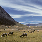Bighorn Sheep (Ovis canadensis) herd of rams banded together and grazing in the high country of the Rockie in Canada.