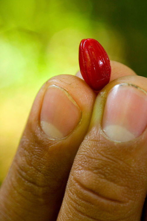 Sao Jose do Rio Preto_SP, Brasil...Programa Biota da Unesp, na foto um fruto...The Biota program of Unesp, in this photo a fruit...Foto: JOAO MARCOS ROSA / NITRO