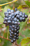 Bunches of ripe grapes. Cabernet Sauvignon vines. Bacalhoa Vinhos, Azeitao, Portugal