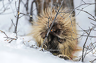 A porcupine making a fine meal out of a cottonwood sapling in Grand Teton National Park
