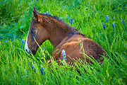 Baby horse resting among the Texas Bluebonnets in Ennis, next to his mother