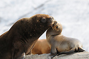 A female South American Sea Lion (Otaria flavescens) and her pup on a rocky island in the Beagle Channel. Ushuaia, Argentina. 13Feb16