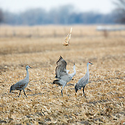 """Object tossing' - Sandhill Cranes, rural Nebraska"