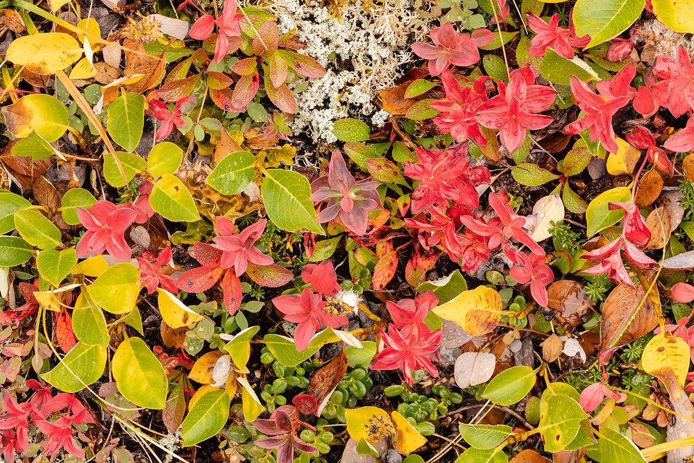 Closeup of tundra fall foliage colors at Thompson Pass in Southcentral Alaska. Morning.