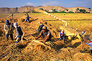 PERU, AGRICULTURE winnowing rice during harvest