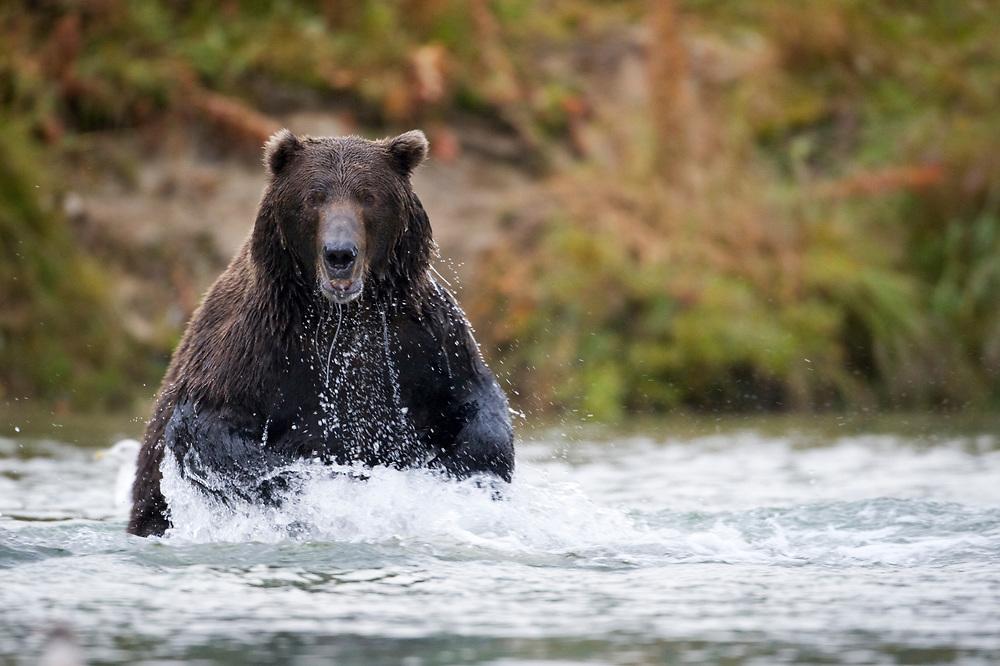 USA, Alaska, Katmai National Park, Kinak Bay, Brown Bear (Ursus arctos) leaping in river while fishing for spawning salmon on autumn day