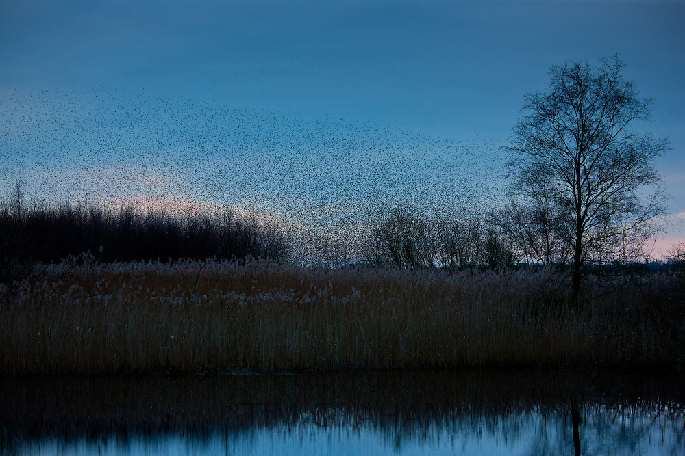 A murmuration of starlings, numbering well over a million birds, dropping in to roost at dusk on the Avalon Marshes at Shapwick Heath Nature Reserve in Somerset. Photograph by Tim Graham