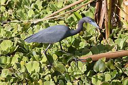 Little Blue Heron, Audubon Corkscrew Swamp Sanctuary