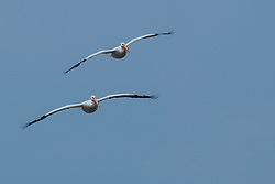 Emiquon Nature Preserve and Wildlife Refuge - American White Pelican (Pelecanus erythrorhynchos) in flight over water on a mostly cloudy day in central Illinois