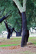Cork oak tree. Quinta do Carmo, Estremoz, Alentejo, Portugal