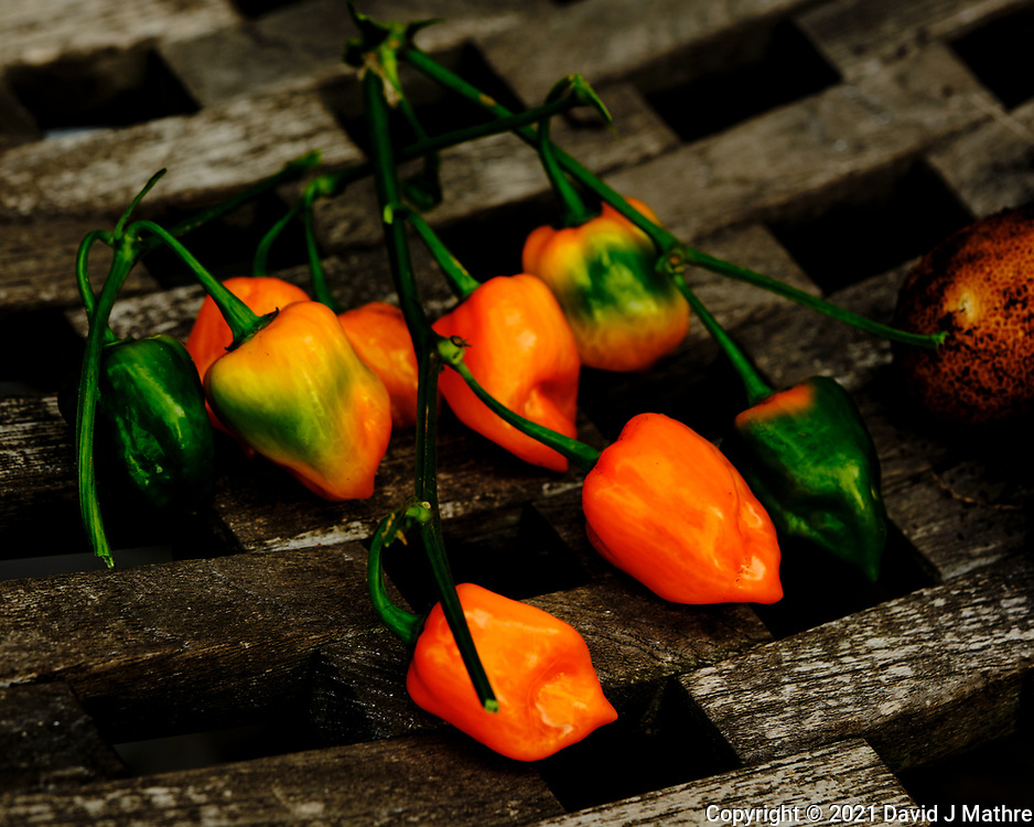 Habanero Peppers. Image taken with a Fuji X-H1 camera and 80 mm f/2.8 OIS macro lens.