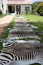 Dyed zebra skins stretched out to dry beside hunter's house, Franschhoek, South Africa