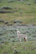 Coyote (Canis latrans) howling in Yellowstone National Park
