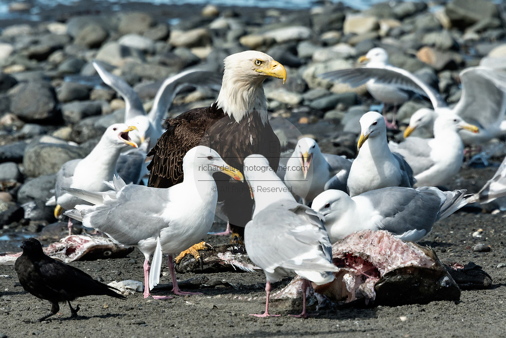 An adult bald eagle guards fish scraps against complaining gulls on the beach at Anchor Point, Alaska.