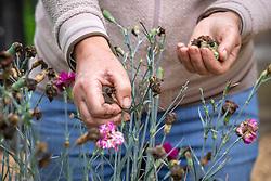 Deadheading dianthus - Garden pinks