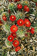 Claret cup cactus in bloom AZ