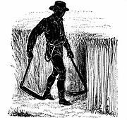 Crop Rotation: Reaping with a Hainault Scythe. In Norfolk 4 course system, wheat planted first year, followed by turnips, then barley, often underplanted with grass or grass and clover ley to be used for hay or grazing in 4th year. Engraving 1855