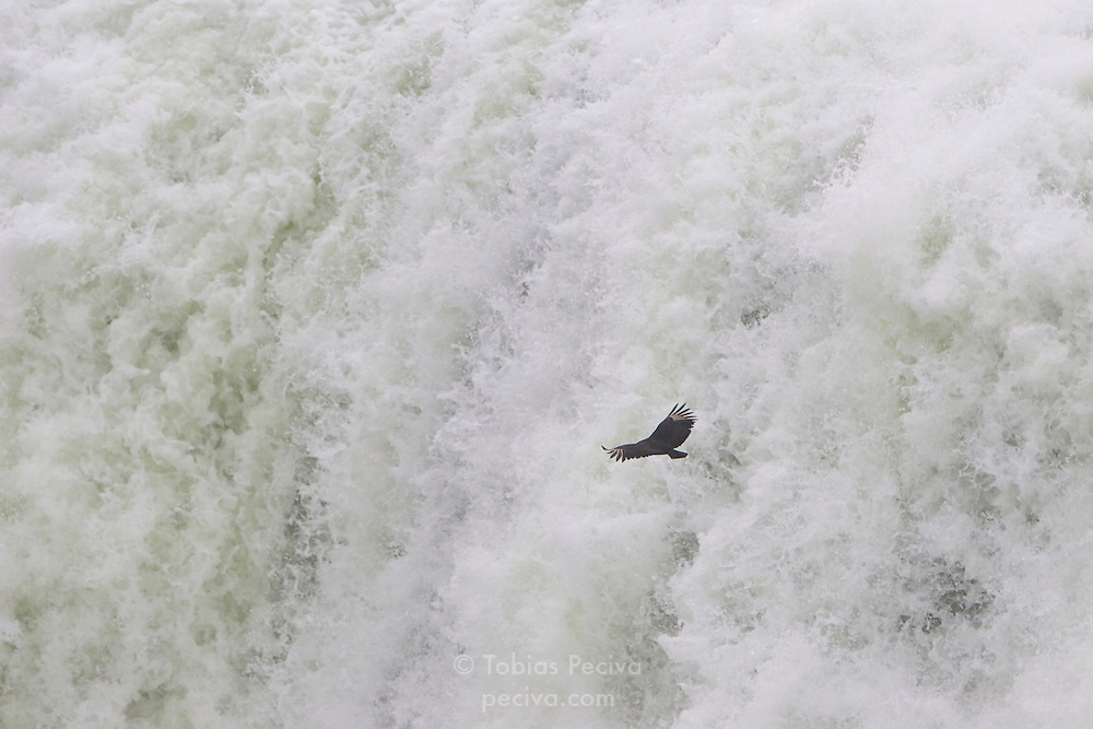 A large American Black Vulture glides past the Devil's Throat waterfall (Garganta del Diablo, Garganta do Diabo) at Iguazu Falls. Iguazu Falls straddle the border between Argentina and Brazil.