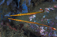 A Pair of Orange-Banded Pipefish, with the male carrying fertilized eggs on its abdomen (as is common in the seahorse/pipefish family)<br /> <br /> Shot in Indonesia