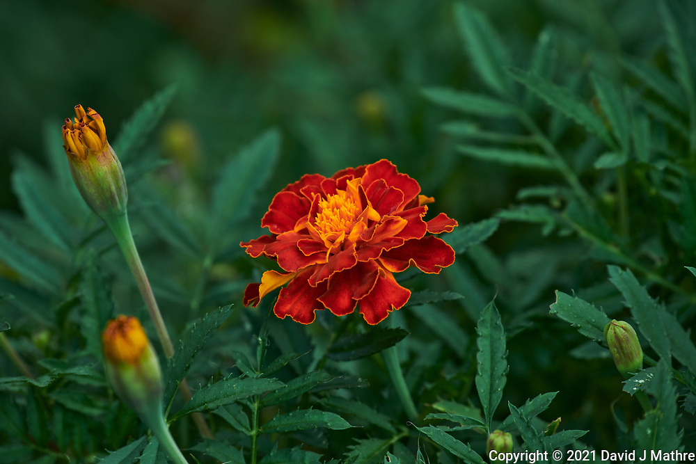 Marigold. Image taken with a Nikon D850 camera and 70-300 mm VR lens.