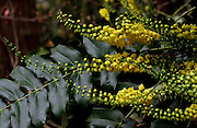"""The bright yellow flowers of Mahonia (Berberis) """"Arthur Menzies"""" are frequently visited by resident hummingbirds at the Winter Garden at the Washington Arboretum.<br /> <br /> Alan Berner / The Seattle Times"""