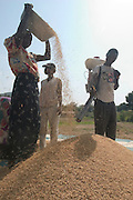 Workers drying rice at a drying platform in Asutsuare, Ghana.