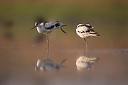 pied avocet (Recurvirostra avosetta) in the water. Photographed in Ein Afek Nature reserve, Israel in September