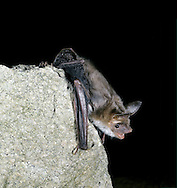Mouse-eared Bat - Myotis myotis