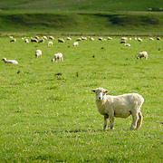 Sheep in field with mountain backdrop on New Zealand South Island