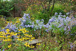 Aster 'Little Carlow' with Rudbeckia fulgida var. deamii AGM around a seat at Glebe Cottage